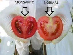 Conozca 5 daños a la salud por alimentos transgénicos | Salud | Scoop.it