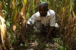 Enslaved to maize: Why we need to re-think Malawi's agricultural future | Maize | Scoop.it