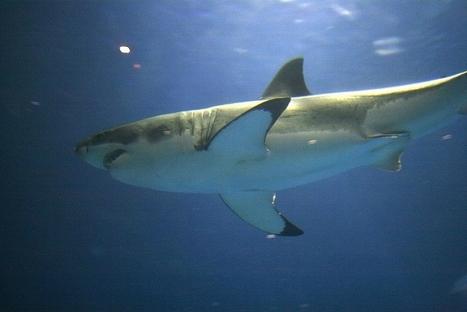 L'unique grand requin blanc captif a survécu seulement trois jours ! | Zones humides - Ramsar - Océans | Scoop.it