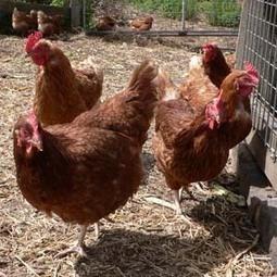 Tecnología de los Productos Avícolas - Alianza Superior | Tecnología de los Productos Avícolas | Scoop.it