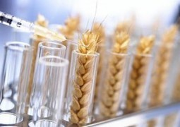 Why 80% of People Worldwide Will Soon Stop Eating Wheat | Food: Thy True Medicine | Scoop.it