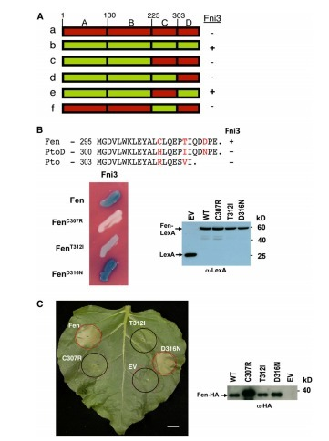 The Tomato Fni3 Lysine-63–Specific Ubiquitin-Conjugating Enzyme and Suv Ubiquitin E2 Variant Positively Regulate Plant Immunity | tomato | Scoop.it
