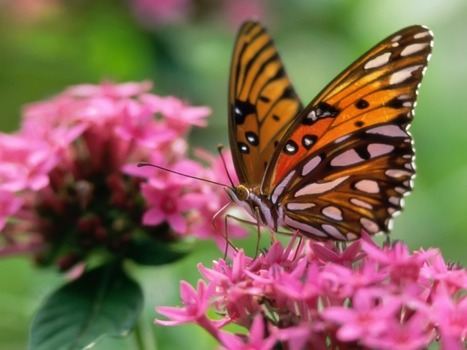 ATTRACTING BUTTERFLIES TO THE LANDSCAPE - Home Grounds Blog | Good Gardening News and Advice | Scoop.it