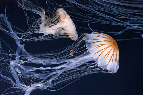 The surprising trick jellyfish use to swim: Team shows how these ancient creatures' undulating motions cause water to pull them along | Marine Conservation Research | Scoop.it