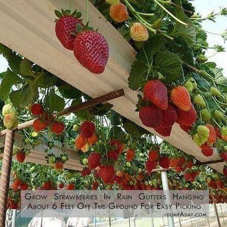 Vertical Strawberries Grown in a Rain Gutter System | aquaponic | Scoop.it