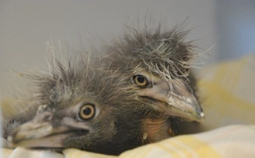 Snowy Egret and Heron Babies Saved from Fallen Tree | Hope | Scoop.it