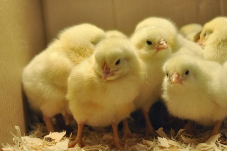 Organica Biotech Pvt.Ltd: Failure of chicks growth & depressed adult chickens are cause of organ failure. Symptoms of Vitamin A defeciency. | Effective Biological treatment | Scoop.it