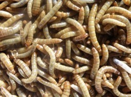 Vous reprendrez bien un peu de vers de farine ? | Entomophagy: Edible Insects and the Future of Food | Scoop.it