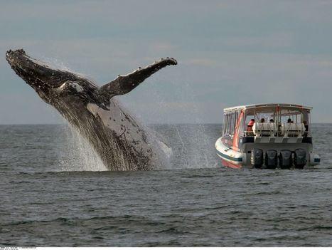 Dans les yeux des baleines : une mutation génétique qui les met en danger | Biodiversité & Relations Homme - Nature - Environnement : Un Scoop.it du Muséum de Toulouse | Scoop.it
