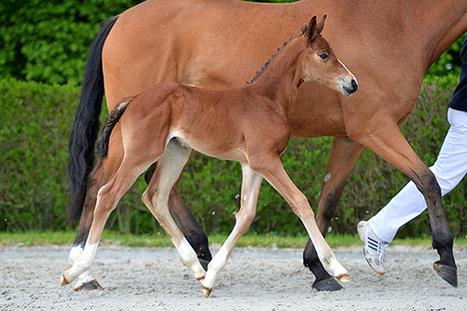 Nouvelle Quality (Darco x Quidam), top price à Bonheiden | jumpinGPromotion - Equestrian Sport, Entertainment & Publishing | Scoop.it