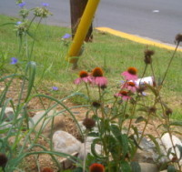 Rain Gardens: Managing Storm Runoff And Preventing Pollution | A Gathering of Rain Gardens | Scoop.it