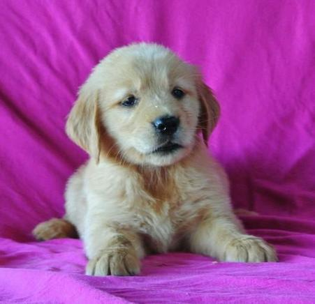 Buy Sweet and Playful English Golden Retriever Puppies in MA | paulwright120 | Scoop.it