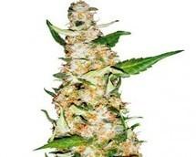 Semillas de Marihuana | Semillas de Marihuana | Scoop.it