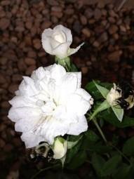 The Love Language of Roses | Gaga's Garden | Hydroponics World | Scoop.it