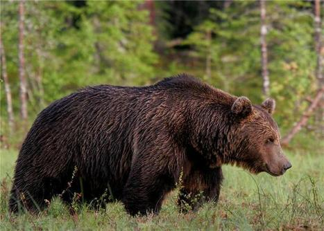 Limited connectivity among brown bear populations in Northern Europe | Forest | Scoop.it