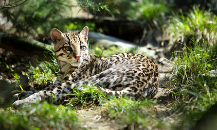 Feds Release Plan to Save Ocelot in Arizona, Texas | Advocating for Wildlife | Scoop.it