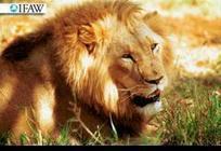 AFRIQUE • Le roi des animaux est en danger | Vie Vegetarienne | Scoop.it