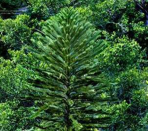 Wollemi Pine Conservation Program | Australian Plants on the Web | Scoop.it