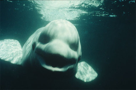 NOC, the white whale that tried to sound like a human - Discover Magazine (blog) | sound mostly | Scoop.it