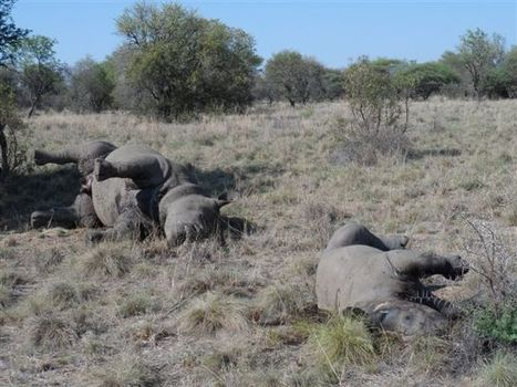 Suspects confess to massacre of seven rhino in North West Province! | Africa Geographic Magazine Blog | Kruger & African Wildlife | Scoop.it