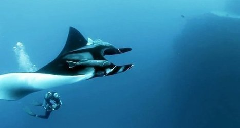 Plongée avec les raies Manta géantes | Rays' world - Le monde des raies | Scoop.it