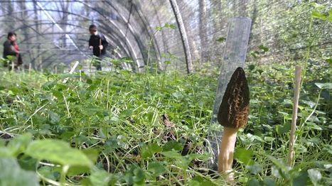 Dordogne : une société se lance dans la culture... de morilles ! | Agriculture en Dordogne | Scoop.it