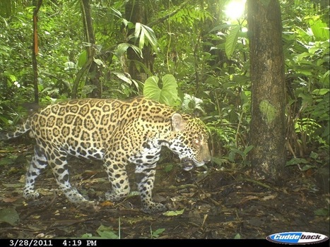 Ecuador's Jaguars Threatened by Oil Drilling - Amazon Aid Foundation | Rainforest EXPLORER:  News & Notes | Scoop.it