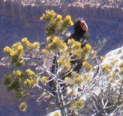 Is the California Condor on the Brink of the Abyss? | Grand Canyon Things to Do | Scoop.it