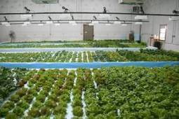 The Country Life: No dirt, no weeds - is aquaponics the future of farming? | Aquaponics in Action | Scoop.it