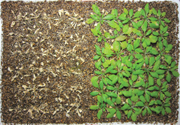 Dealing with drought - Research Highlights - RIKEN RESEARCH | Plant Gene Seeker -PGS | Scoop.it