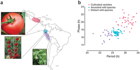 Cultivated tomato clock runs slow : Nature Genetics | Plant Gene Seeker -PGS | Scoop.it
