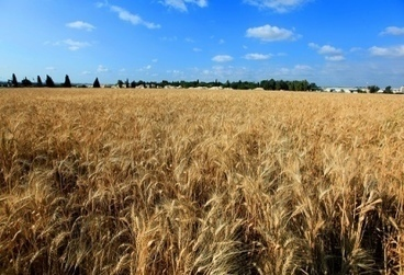 Israeli findings push first wheat cultivation back 11,000 years | Jewish Education Around the World | Scoop.it