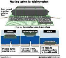 Deal aids oyster growers - Capecodonline | Aquaculture (Global Aqua Link) | Scoop.it