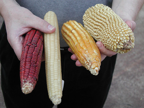 Corn Diversity | Global education = global understanding | Scoop.it