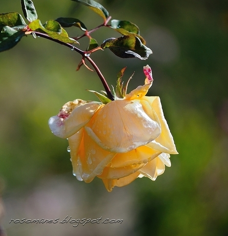A Rose is a Rose...: Enjoying Late Season Roses | Garden to Table | Scoop.it