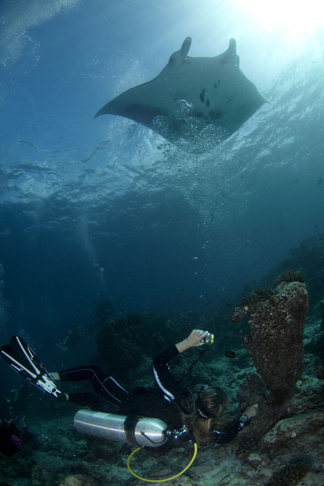 Manta Rays of Maldives | Maldives Blogs | Rays' world - Le monde des raies | Scoop.it