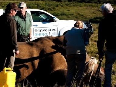 Second skin graft procedure for rhino Thandi at Kariega - Kariega | Rhino | Scoop.it