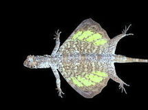 Facts about Common Flyingdragon (Draco volans) - Encyclopedia of Life   Draco Lizard   Scoop.it