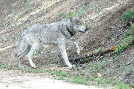 Wildlife Services kills 5 wolves | GarryRogers NatCon News | Scoop.it
