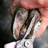 Digital dermatitis present on 97 per cent of cattle blades | Hoof Bath | Scoop.it
