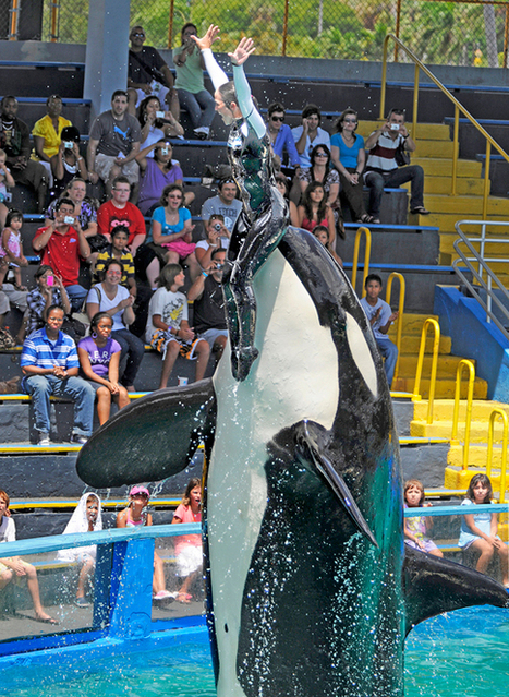 It's Time to Free Lolita, a Puget Sound Killer Whale That's Been Held Captive in Florida for 45 Years - Features - The Stranger | All about water, the oceans, environmental issues | Scoop.it