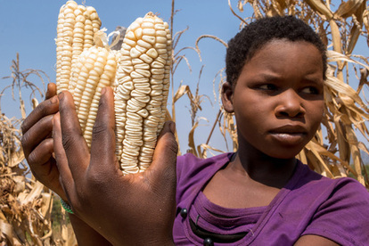 Record-Low Zimbabwe Corn Crop to Press Drought-Hit South Africa | MAIZE | Scoop.it