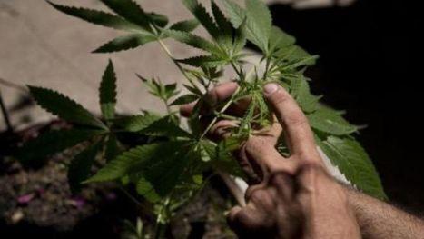 Plus de 1000 plantations de cannabis découvertes en Belgique en 2012 - RTBF Societe | Belgitude | Scoop.it