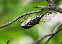 Cicada wings inspire new ideas for antibacterial products | Systems biology and bioinformatics | Scoop.it