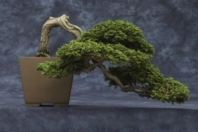 Arnold Arboretum's Jewel of a Bonsai Collection - BU Today | Japanese Gardens | Scoop.it