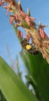 Maïs : « Pas d'Ecophyto 2 ! » (AGPM) | Abeilles, intoxications et informations | Scoop.it