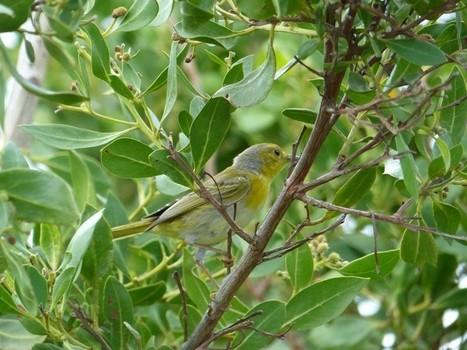Oiseau jaune et gris de Cuba | Fauna Free Pics - Public Domain - Photos gratuites d'animaux | Scoop.it