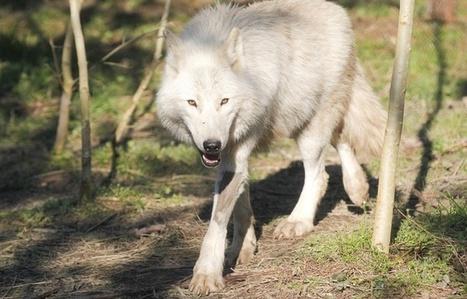 Nice: Estrosi condamné pour avoir affirmé que le loup a été introduit par les gardes du Parc du Mercantour | Loup | Scoop.it