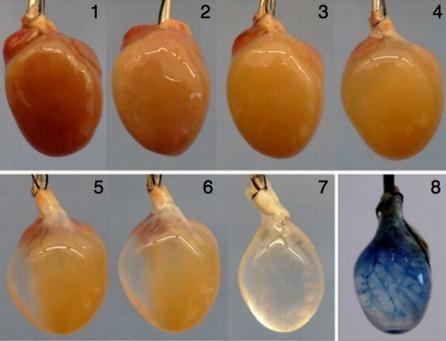 Watch Lab-Grown Heart Tissue Beat On Its Own ... - Popular Science | Teaching Teens Science | Scoop.it