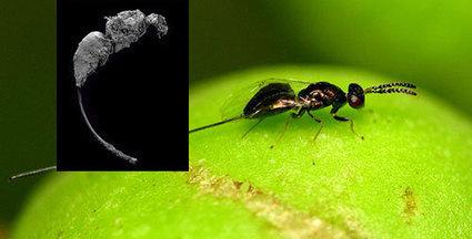 Ancient 'fig wasp' lived tens of million years before figs / Un ancien pollinisateur du figuier existait avant les figuiers | EntomoNews | Scoop.it